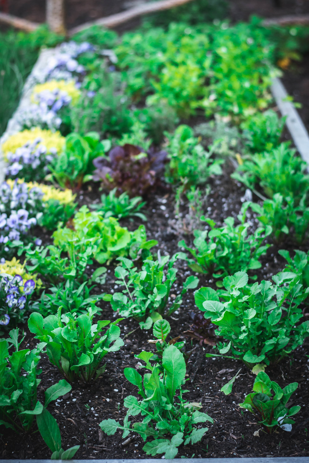 growing greens - There are no rules on how to grow a kitchen garden. Hints and inspiration help guide the process. For some, cut flowers are important. For others it is food function driving the planting. A well thought out kitchen garden, however, takes advantage of what is space is available and what will grow well horizontally and vertically given the plot's location.