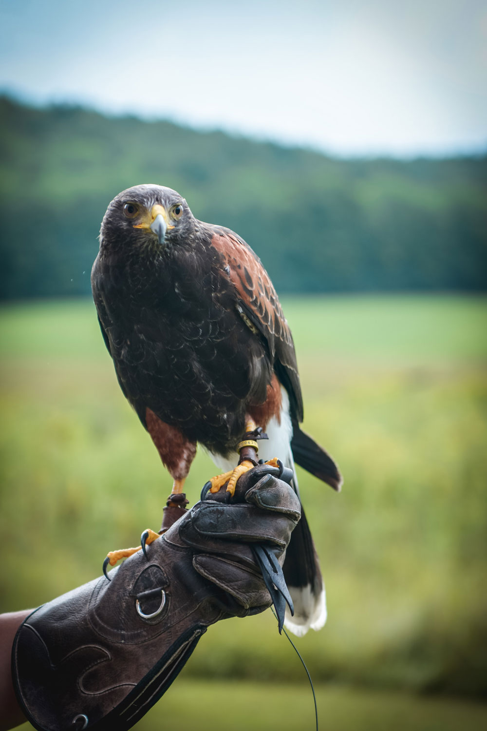 Falconry_1_Weston_Table_September_2018.jpg