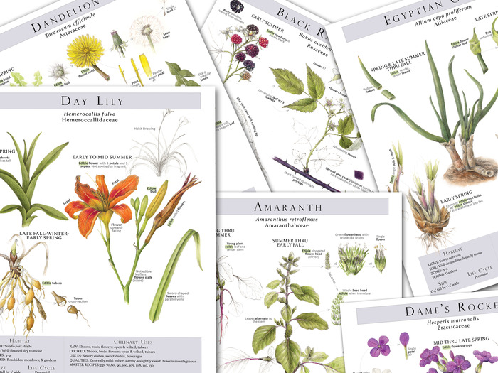 Here are some of the Plant Identification pages from the book   Foraging & Feasting; A Field Guide and Wild Food Cookbook