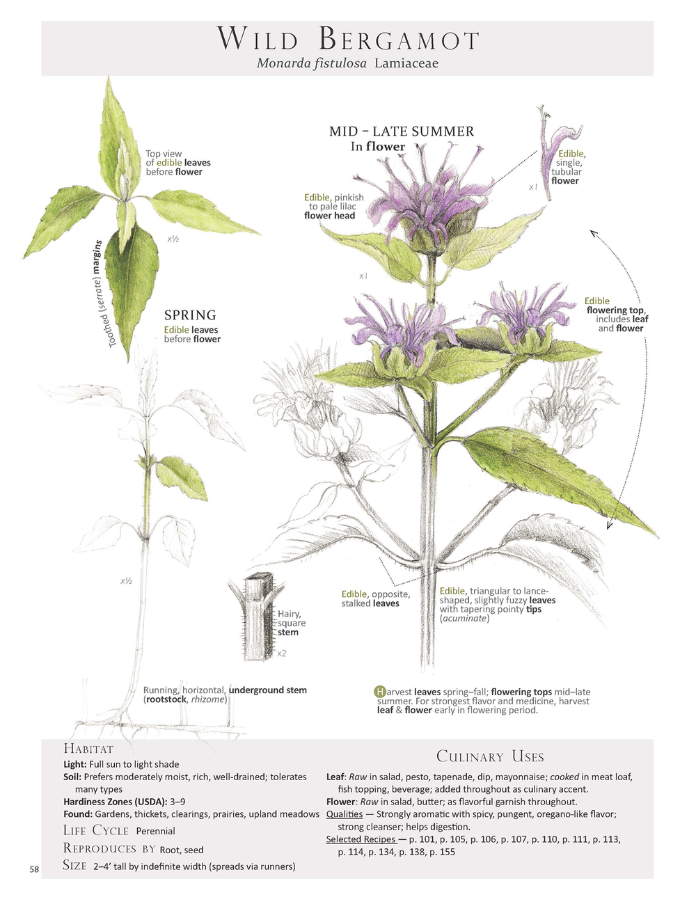 Wild Bergamot Plant Identification page from the book  Foraging & Feasting