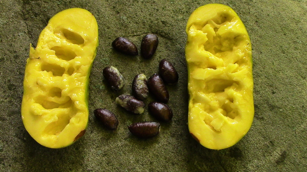 Inedible black seeds removed from edible fruit flesh. Seed can be planted right away, or stored in the refrigerator for future planting For more information on planting seeds click here or here. For more information on pawpaws in general click here.