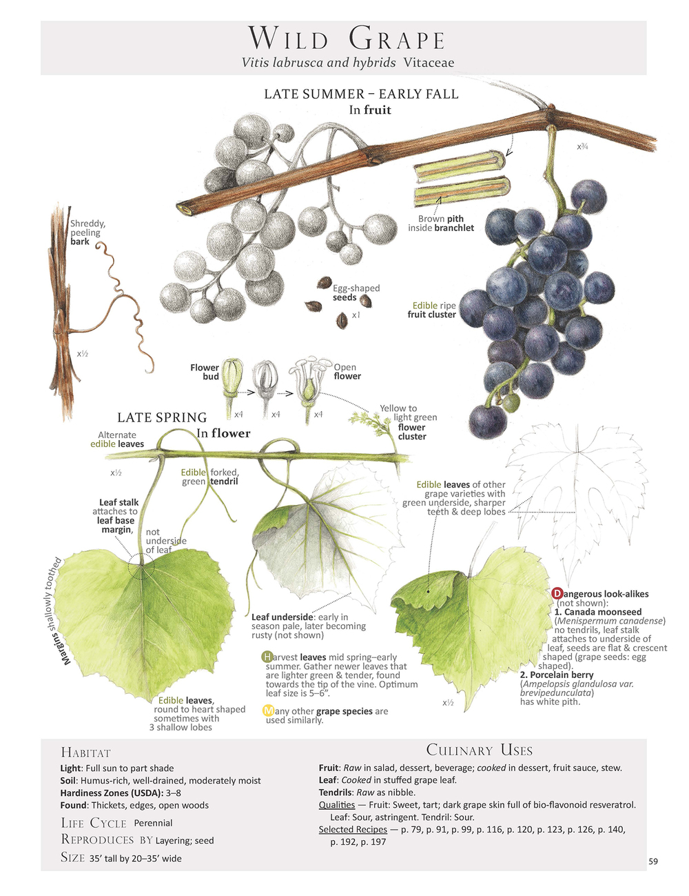 Wild Grape Leaf page from our book   Foraging & Feasting: A Field Guide and Wild Food Cookbook   by Dina Falconi; illustrated by Wendy Hollender