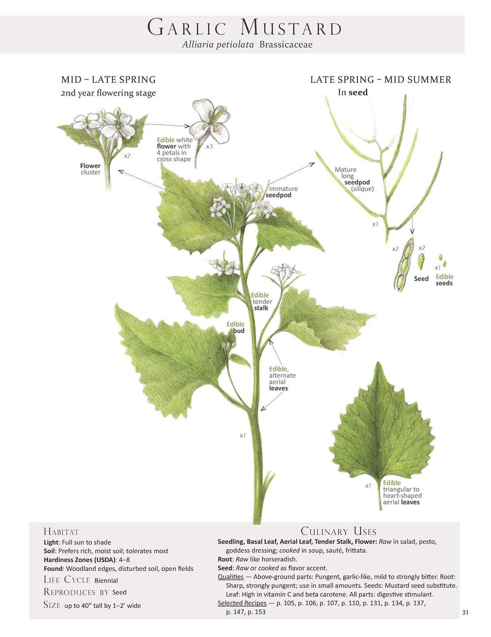 Garlic Mustard Plant Identification page from our book Foraging & Feasting: A Field Guide and Wild Food Cookbook by Dina Falconi; illustrated by Wendy Hollender.      http://bit.ly/1Auh44Q