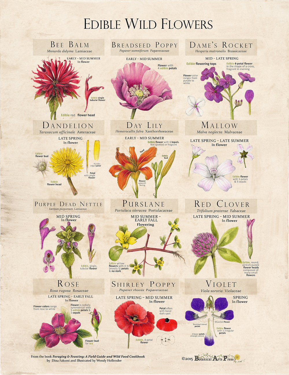Edible wild flowers fine art print foraging and feasting