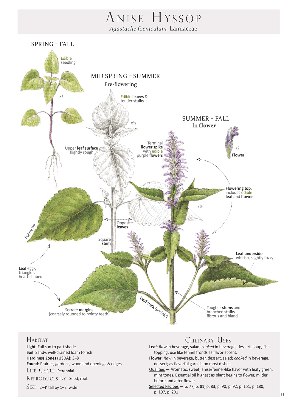 Plant Identification page from Foraging & Feasting: A Field Guide and Wild Food Cookbook by Dina Falconi; illustrated by Wendy Hollender  http://bit.ly/1Auh44Q