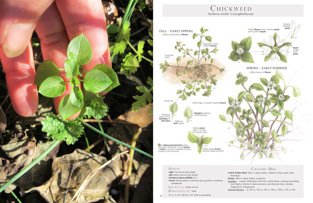 Chickweed+.png