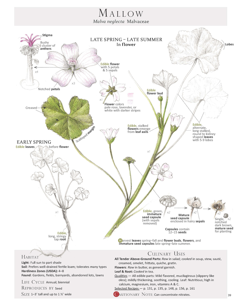 Common mallow illustration from  Foraging & Feasting: A Field Guide and Wild Food Cookbook .