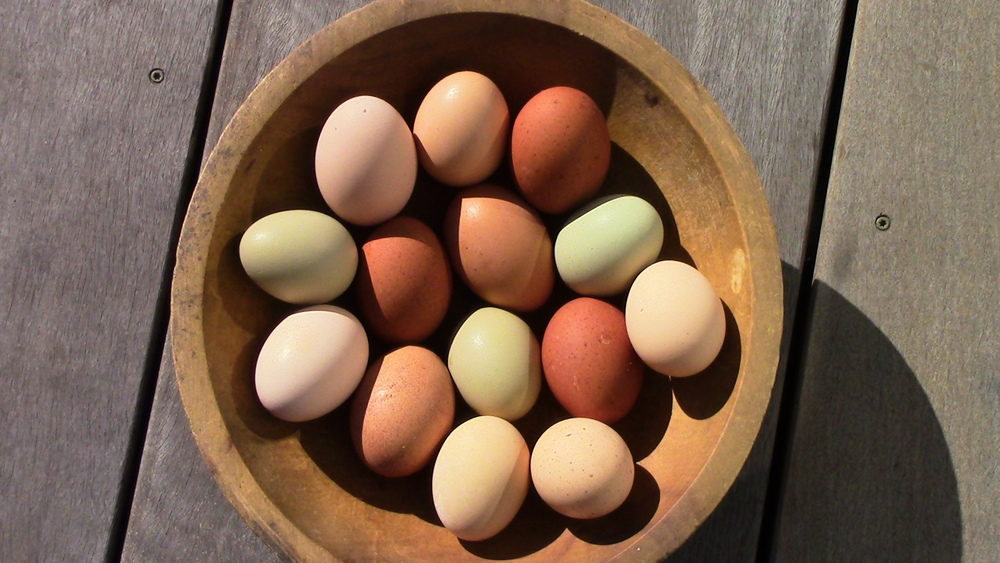 """Eggs from the """"feral"""" flock of hens who live in our edible forest chicken yard."""