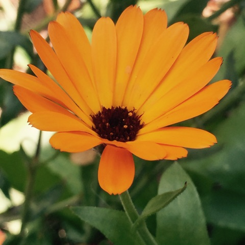 Photo of Calendula in the wild garden taken by Magda Durante