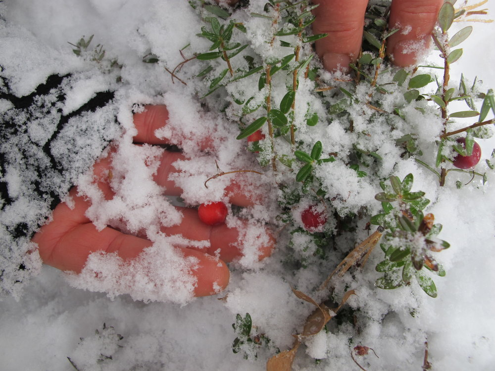 Returned to the mini bog after a snow storm last Nov 21st. and tried to gather the ripe cranberries. Frozen fingers and hiding berries made for a less than abundant harvest, but a rich adventure. Plan on checking the spot tomorrow, maybe a better harvest awaits!