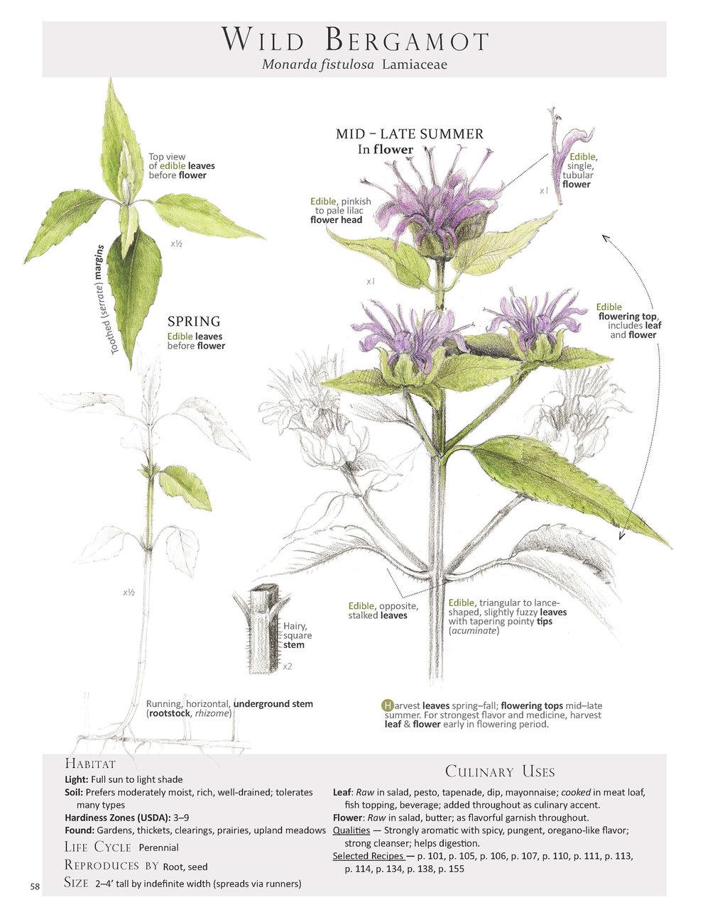 Wild Bergamot-Monarda fistulosa.jpg