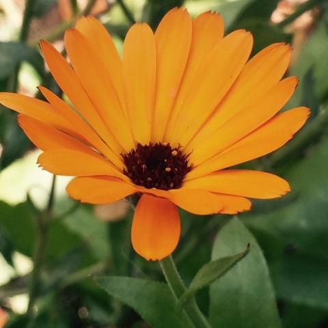 Photo of Calendula in the wild garden taken by Magda Durante