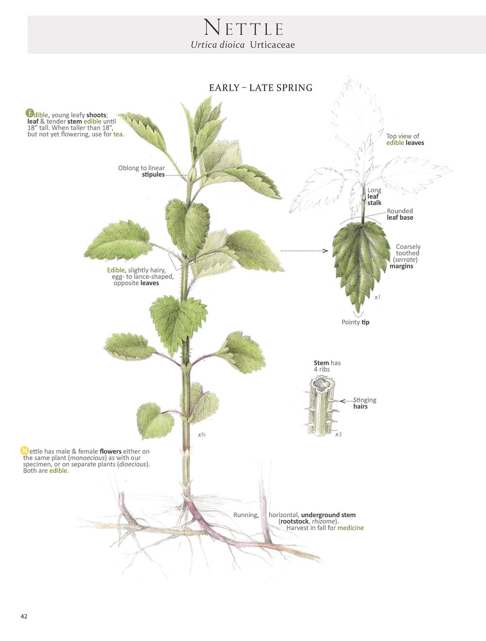 Nettle plant map from Foraging & Feasting by Dina Falconi; illustrated by Wendy Hollender. www.botanicalartspress.com Book link here:  http://bit.ly/1Auh44Q