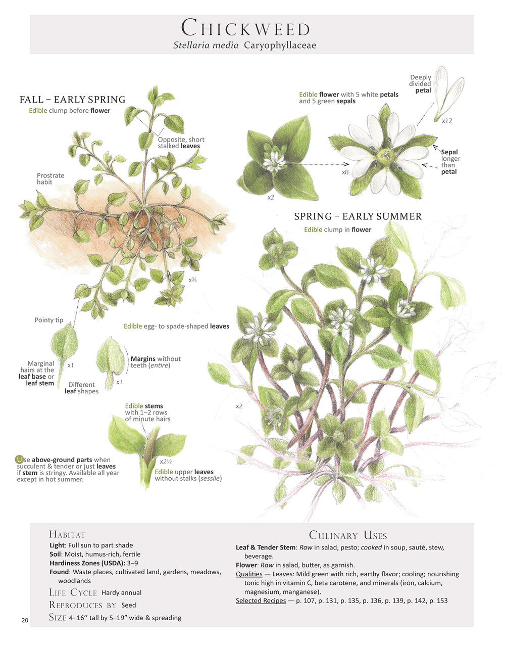 Chickweed Plant Map from Foraging & Feasting: A Field Guide and Wild Food Cookbook by Dina Falconi (me), illustrated by Wendy Hollender. Book link ~ http://bit.ly/1Auh44Q