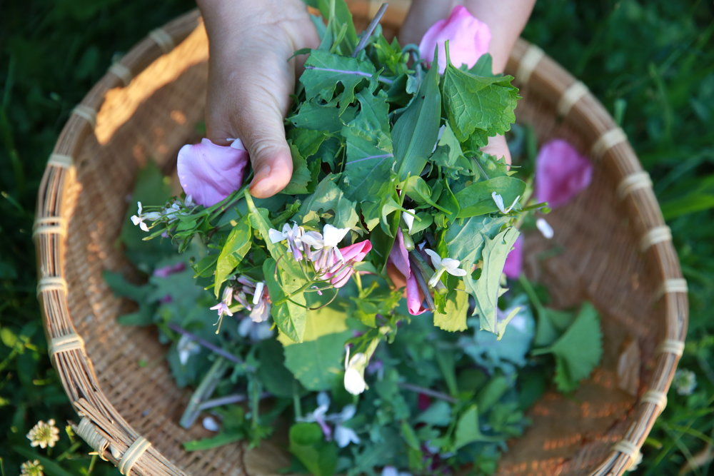 Wild Salad in June, mid Hudson Vally, NY. The basket contains day flower, garlic mustard, wild lettuce, rose, chickweed, violet and kale (reseeding).