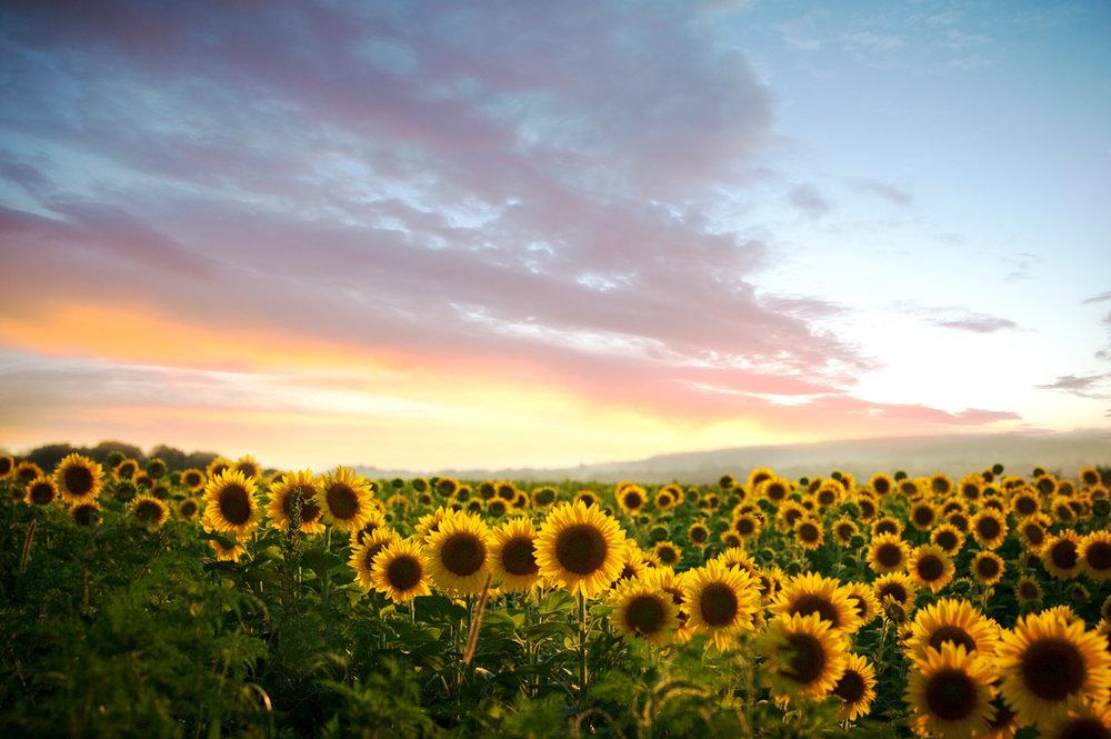 sunflowerfeildkmp2017web.jpg