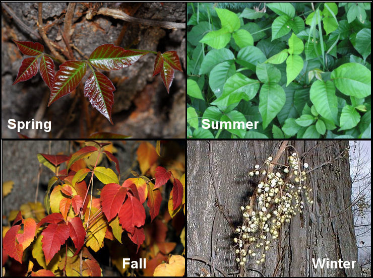 Poison ivy throughout the year. Image fromCamping with Gus.