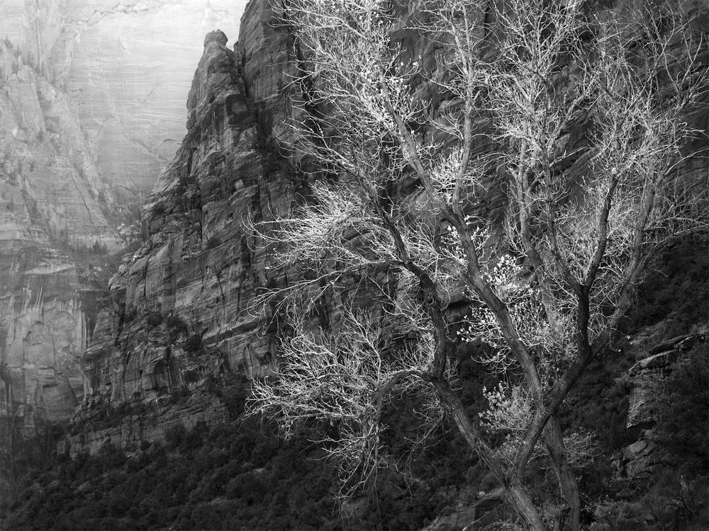 Sunllit Tree, Zion National Park