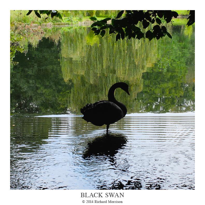 Black_Swan.png