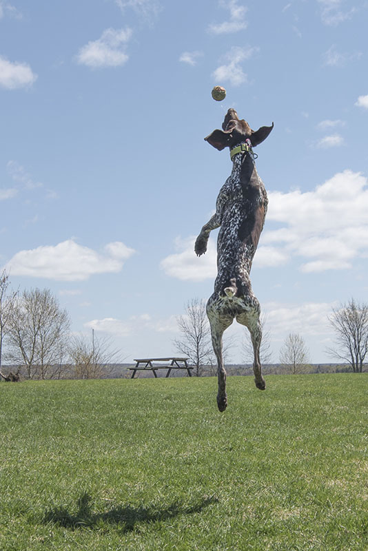 Spring in Her Step:  Bridgette a German Shorthair Pointer owned by Jennifer Nguyen might be new to the Sault, but she seemed to be having a great time on Top Sail Island at Bellevue Park Wednesday afternoon.