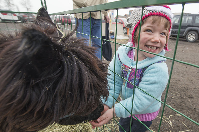 Alpaca Fun: New Moon visited Mill Market Saturday April 4th, 2015, the family friendly alpaca who normally resides in Bruce Mines at Meadowview Farms, caused squeals of laughter from three year old Charlotte Burritt as he nibbles treats with his tickley lips.