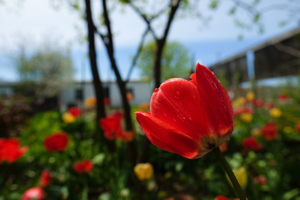 Tulip2016_DSCF6790.jpg