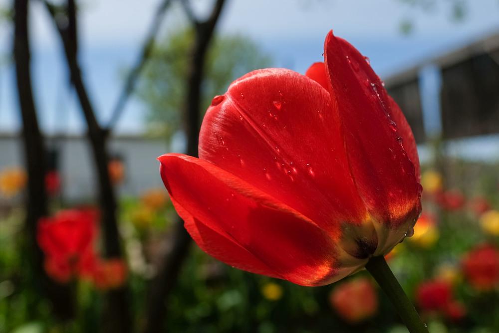 Tulip2016_DSCF6792.jpg