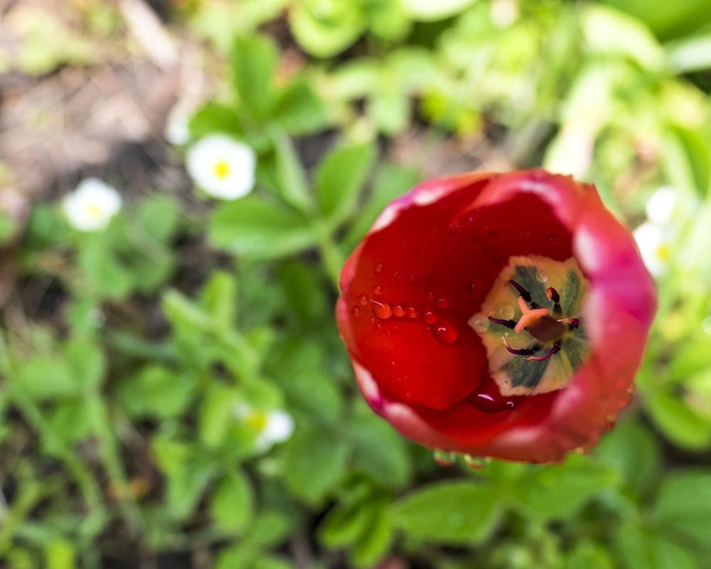 Tulip2016_DSCF6817.jpg
