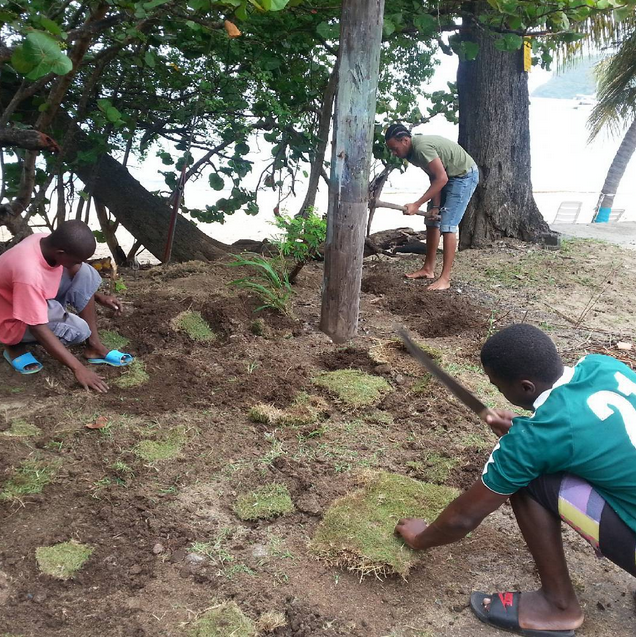 Youth plant grass at the edge of Lower Bay Beach. Credit:  Dillon Ollivierre