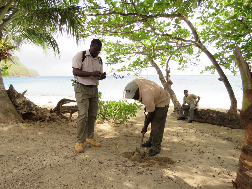 Forestry rangers plant neem trees to prevent beach erosion