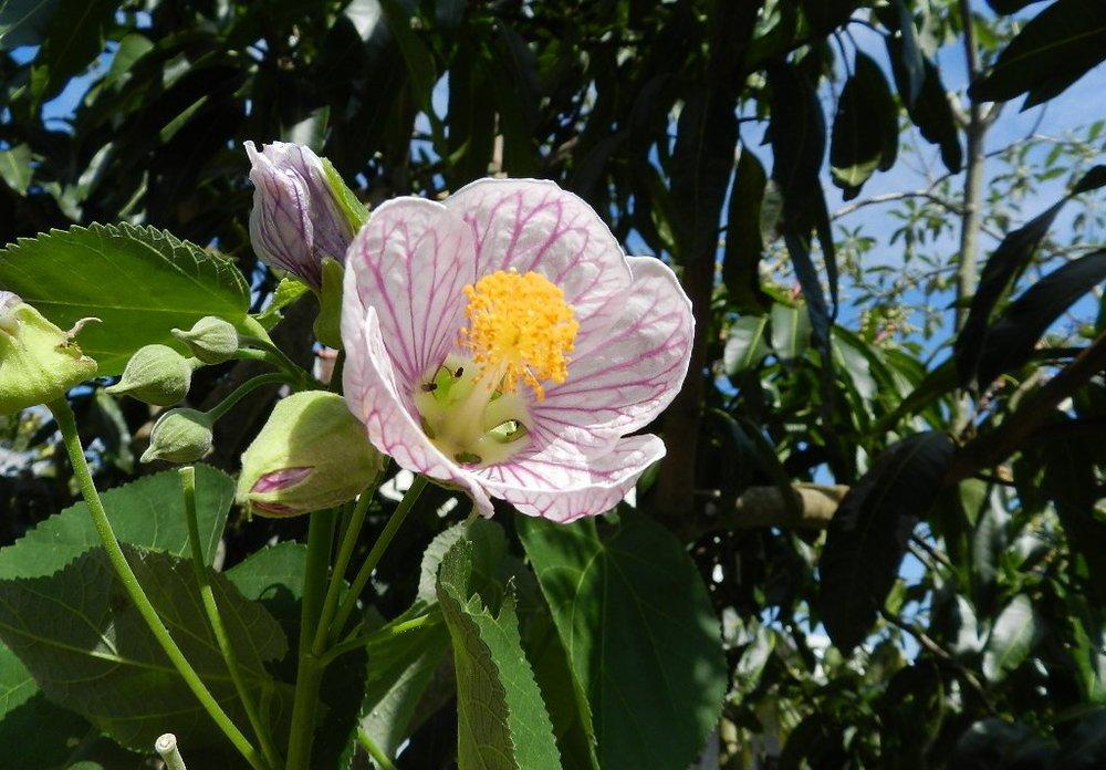 Sininho rosa_Abutilon bedfordianum_2.JPG