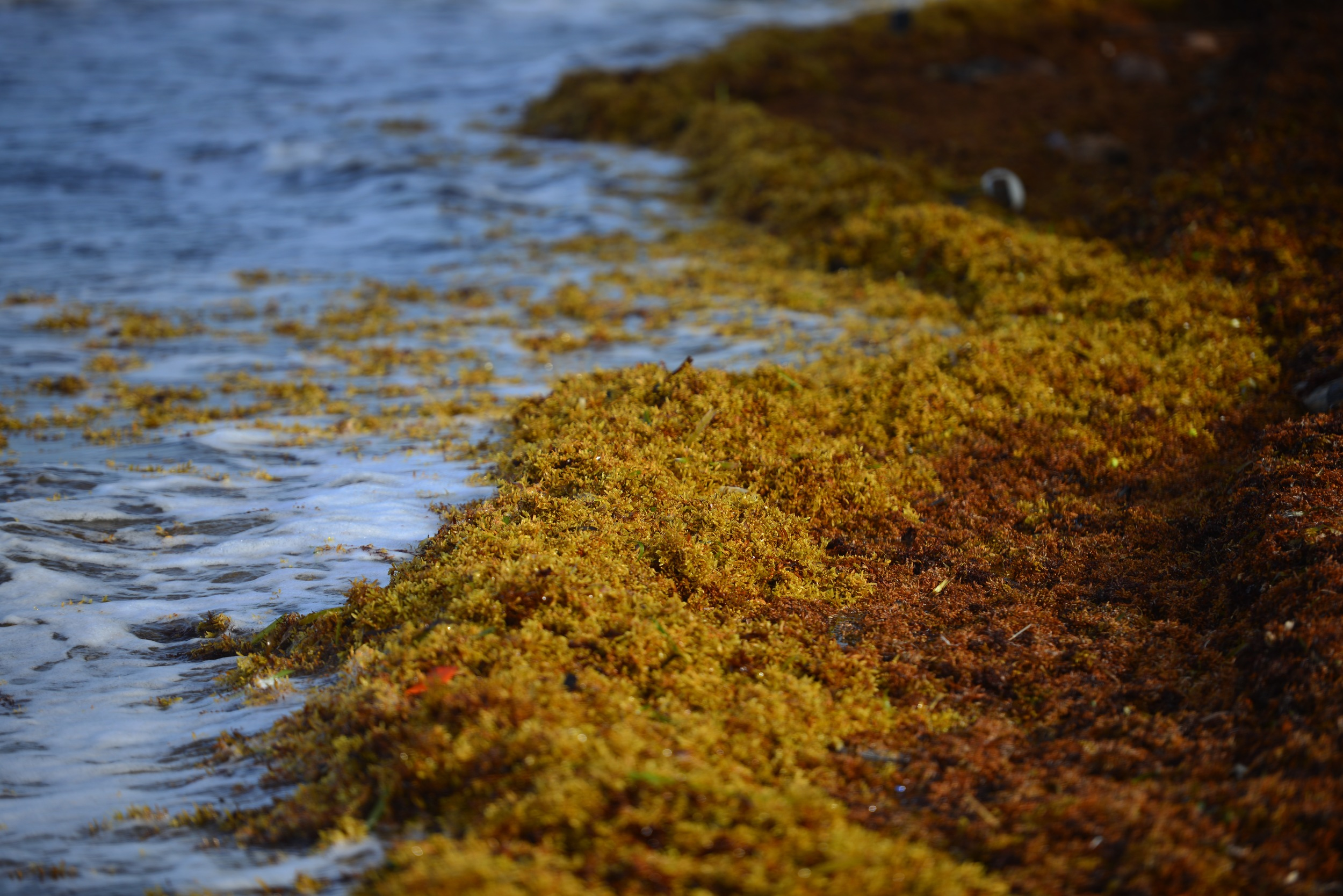 Sargassum Seaweed in Belize: Locals Chime In — Pan American
