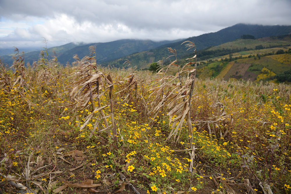 The eruption's hot ash killed surrounding fields of corn. Now, wild flowers have taken over, rendering much of the volcano's slope yellow.