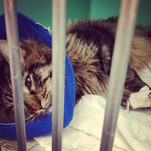 He's all sutured up and discombobulated. Coming home tomorrow morning. #thankyou #giveforward #catsofinstagram #zig 🐯