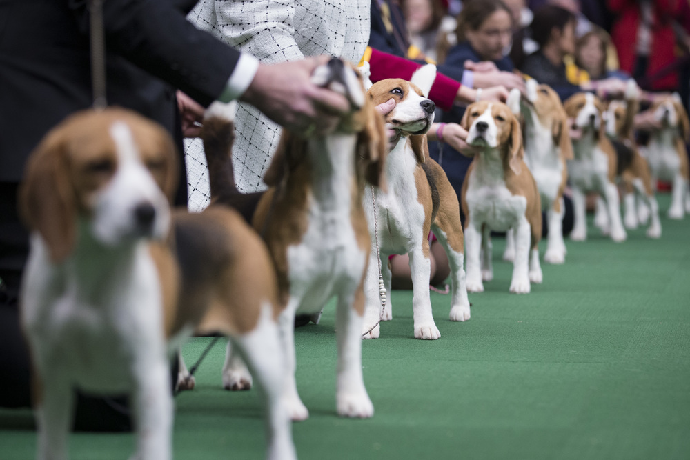 Image courtesy of Westminster Dog Show