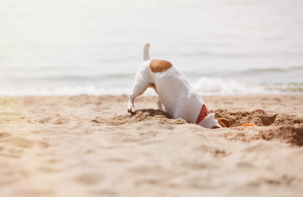 bigs-Jack-Russell-Terrier-Pup-digging-in-a-California-beach-e1-Large.jpg