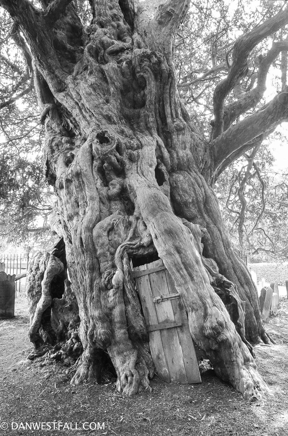 Crowhurst, England. Ancient Yew. #0678
