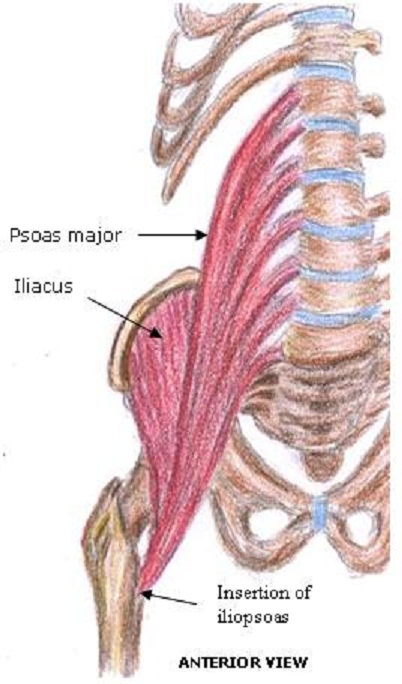 the mysterious psoas muscle! — pilates garage, Human Body