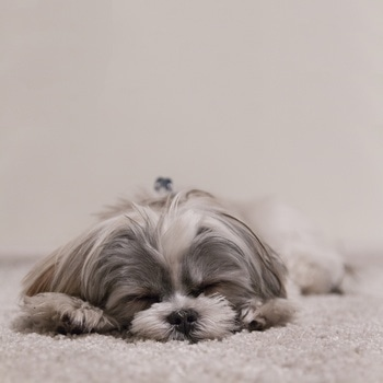 dog on carpet.jpg