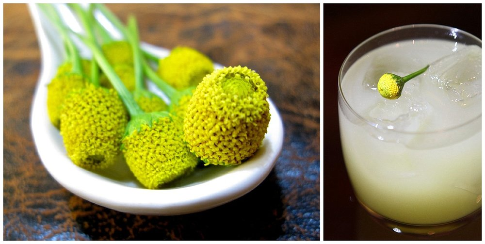 "The Sichuan button or ""buzz bud"" pictured on the left. The Verbena shown on the right. (stock images, not taken by me)."