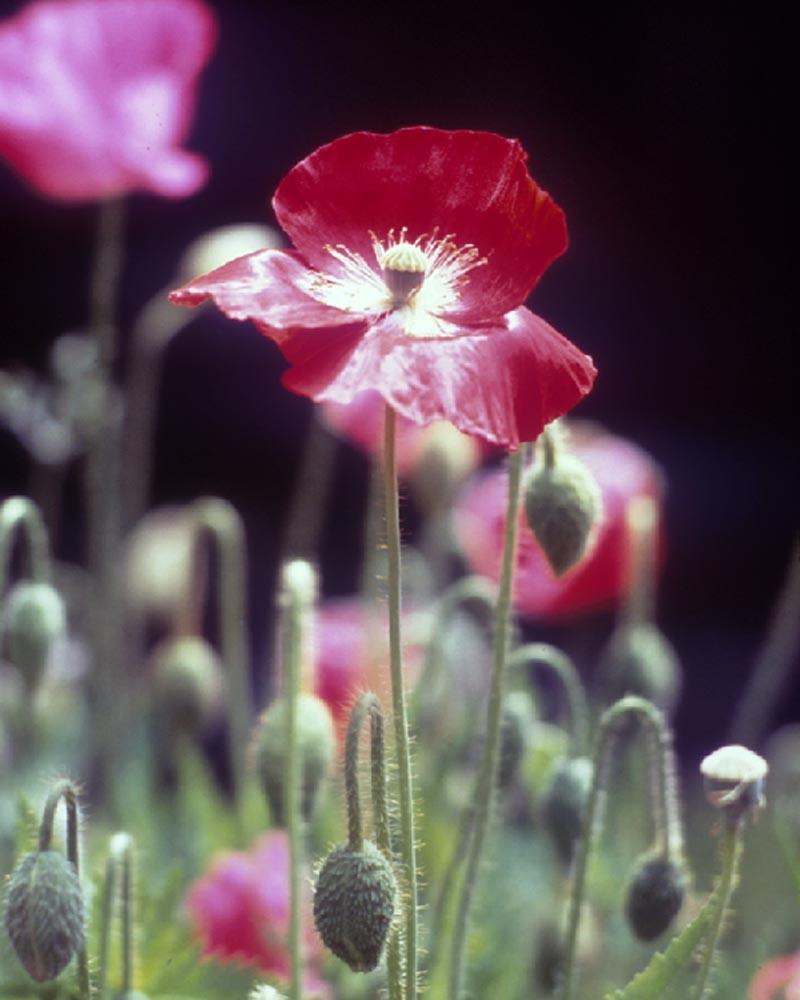 01-Poppy flowers .jpg