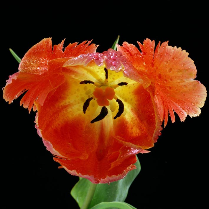 03-Tulip.jpg
