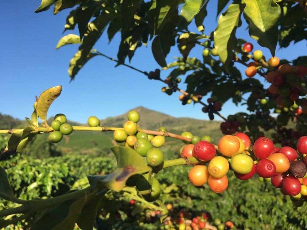 Coffee-Cherries-Red-Orange.jpg