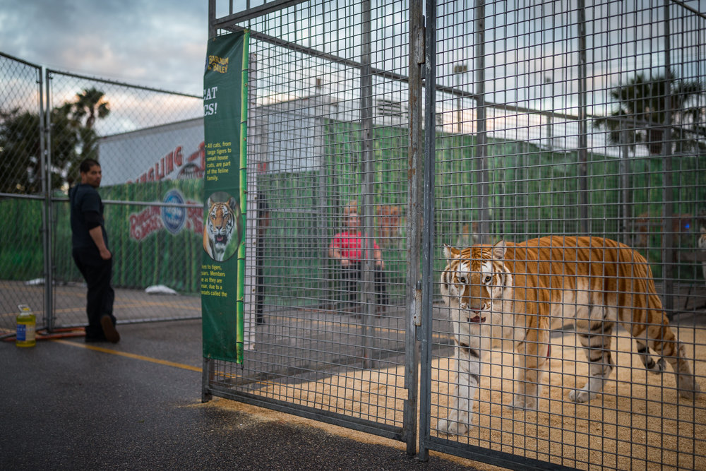 "A tiger is seen in an enclosure during the ""animal open house"" before the Ringling Bros. and Barnum & Bailey Circus at Amalie Arena in Tampa, Fla., on Wednesday, Jan. 25, 2017. The circus has announced it will be shutting down in May of 2017."