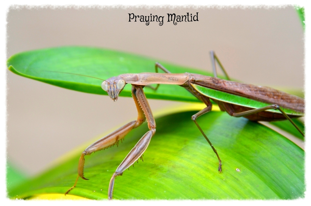 Predator: Will eat most anything that happens to be passing by. The smaller the mantid the smaller the pray it hunts. Only insects than can turn their heads and look over their shoulder.
