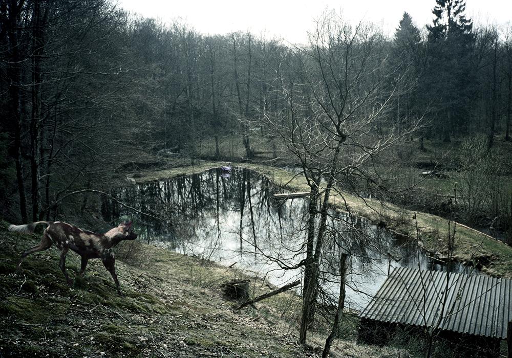 (Untitled)WildDog (1).jpg