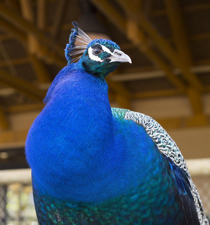 peacock8_16693826183_o.jpg