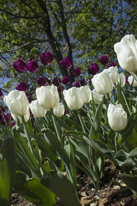 Purpleandwhitetulips.jpg