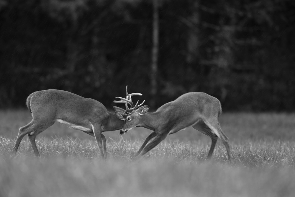Two young bucks sparring in the rain. Image was created in color & then converted to b&w. Canon 5D Mark III, 500mm 1/80 @ f/5.6 ISO 1600