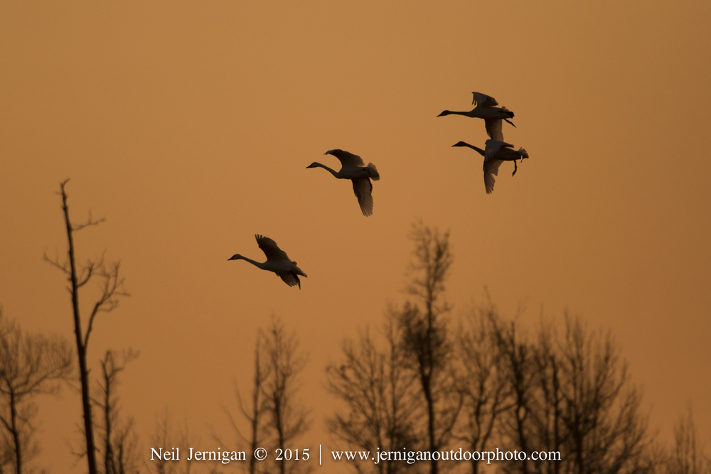Tundra Swans at first light.